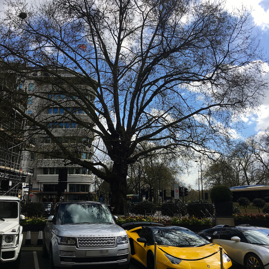 One of the great Plane trees of London outside The Dorchester Hotel